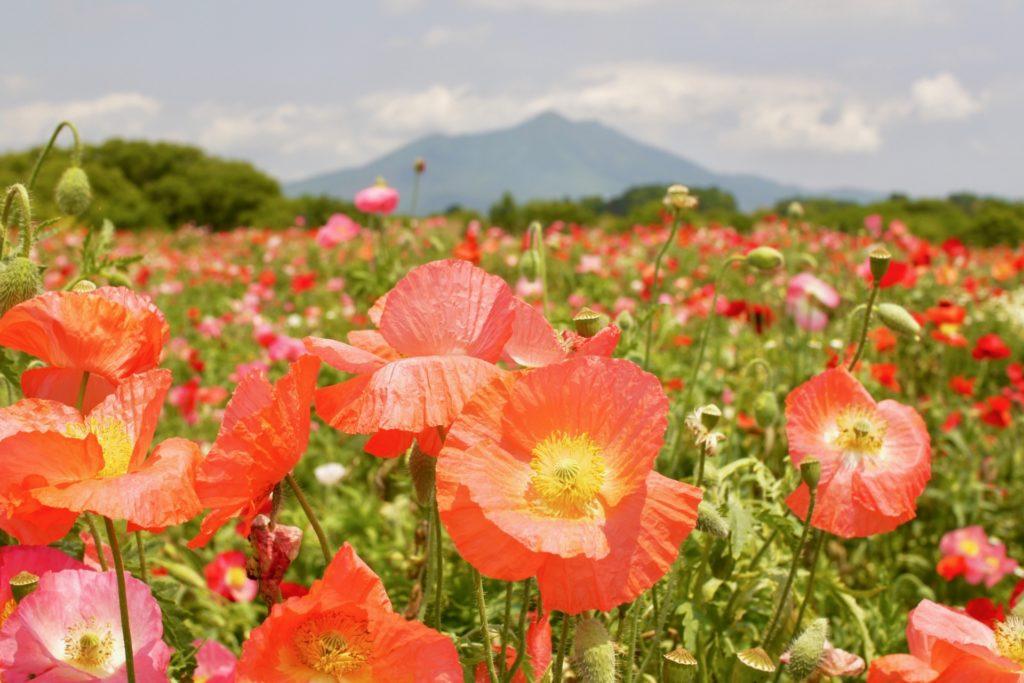 ポピー畑と筑波山